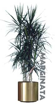 Marginata the Red Edged Dracaena
