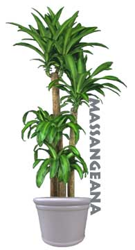 dracaena fragrans massangeana houseplant identification care guide - House Plant Identification Guide By Picture