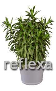 dracaena reflexa - Pleomele