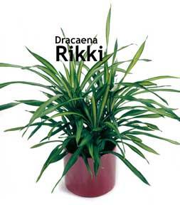 Dracaena Rikki