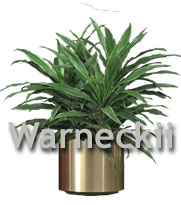 Dracaena Warneckii bush